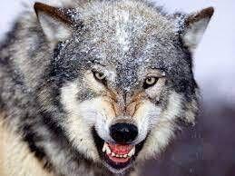 قصة الذئب المكّار وطائر الكركي