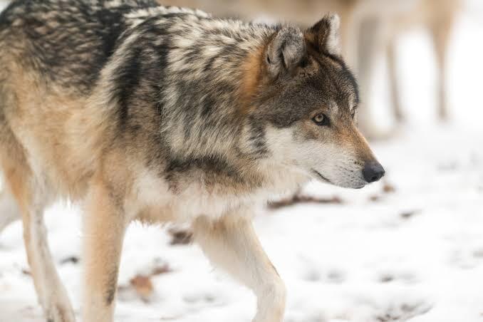 حرية الذئب